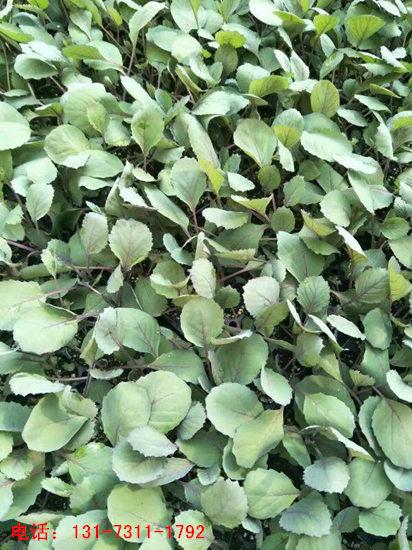 紫甘蓝种苗