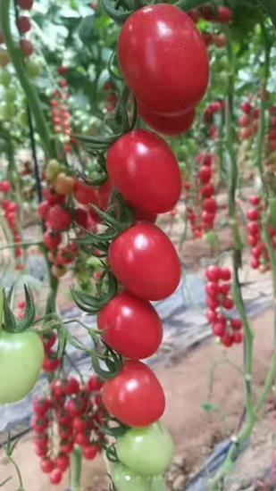 千禧小西红柿苗