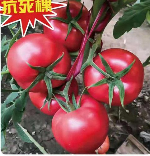 抗死棵西红柿苗