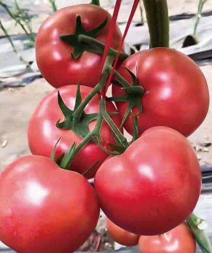 硬粉番茄苗(洛奇3号)