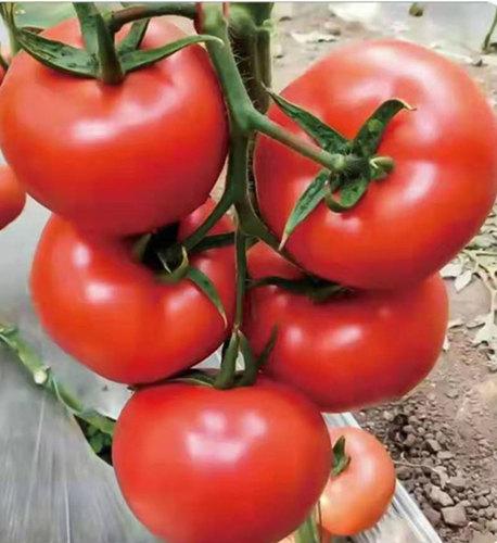 大果型番茄苗-莱顿1号