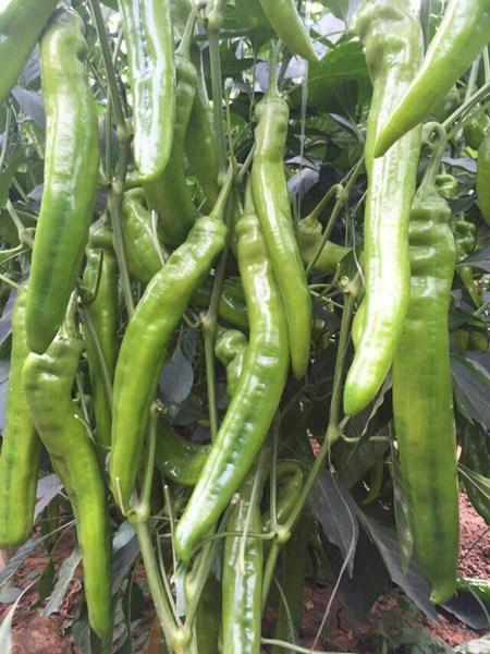 羊角椒种苗