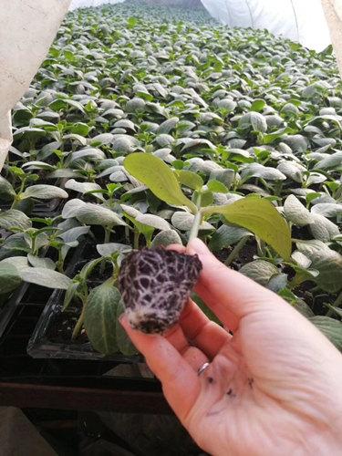 黄瓜育苗场
