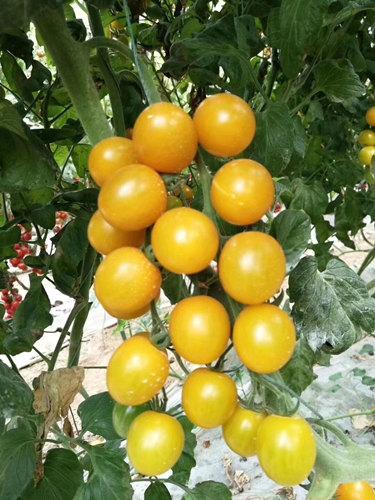 小黄西红柿苗