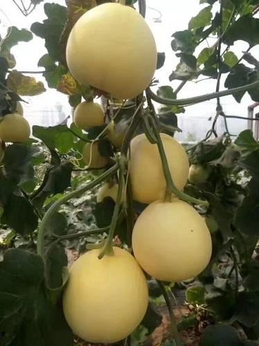 黄皮甜瓜苗