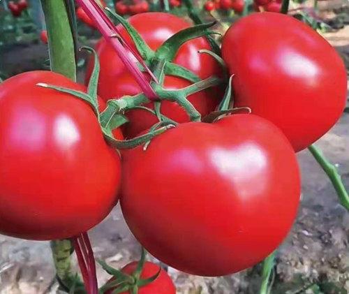 进口大红番茄苗-欧莱F1