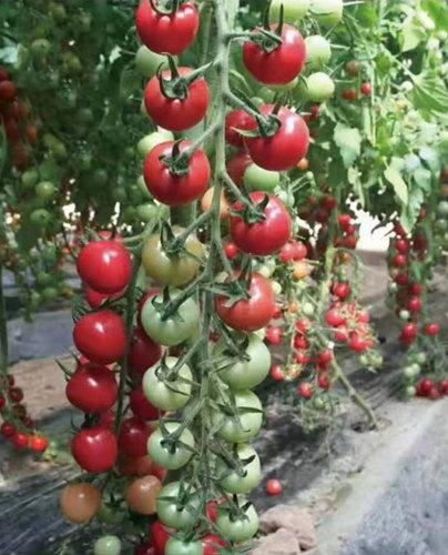 粉贝贝小西红柿苗