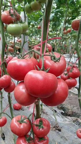 耐热西红柿苗