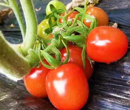 釜山88小番茄苗