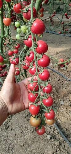 贝贝小番茄苗