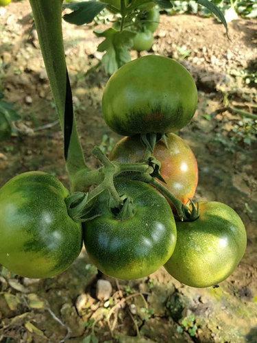 抗病毒中果型草莓番茄苗