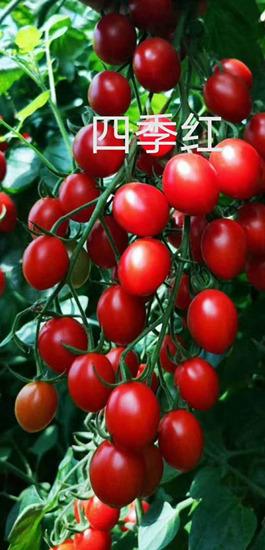 四季红小番茄苗