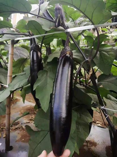 紫把长茄种苗