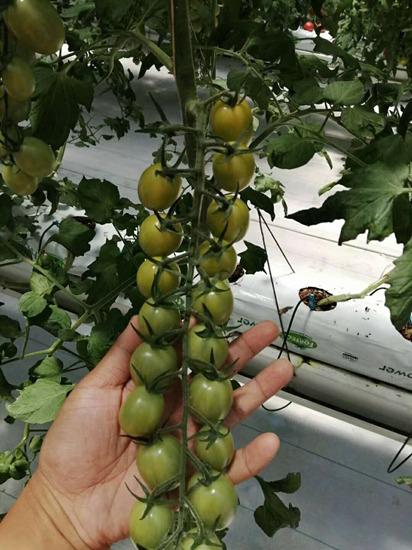 绿皮小番茄苗