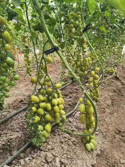 绿皮千禧小柿子苗