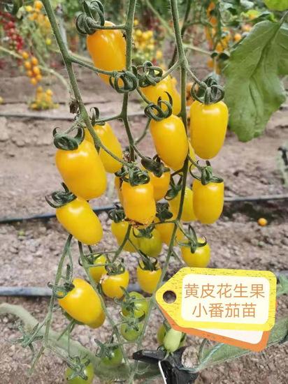 黄皮花生果小番茄苗