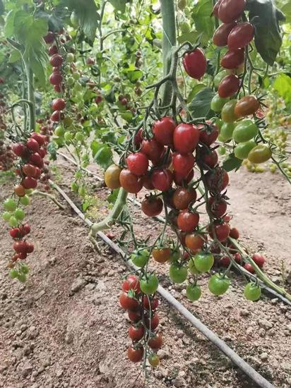 巧克力紫皮小番茄苗