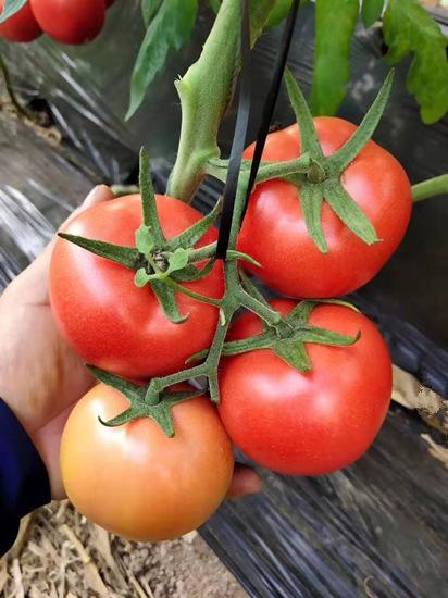 西红柿苗厂-莱顿5号