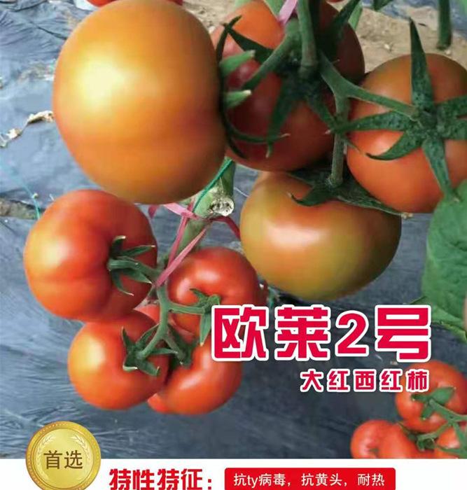 耐热大红番茄苗-欧莱2号