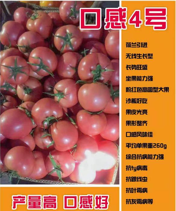 口感4号西红柿苗