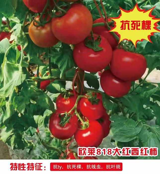 抗死棵大红西红柿苗-欧莱818
