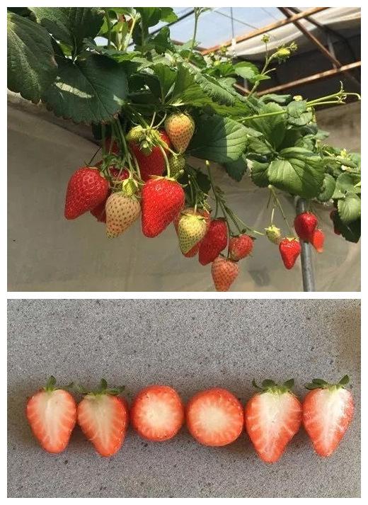 圣诞红草莓苗