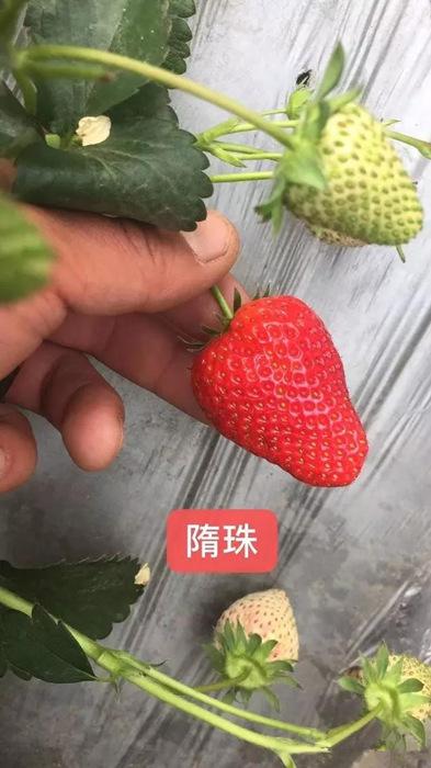 隋珠草莓苗