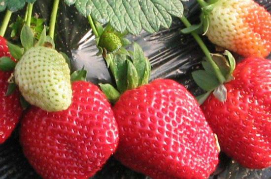 红颜草莓苗